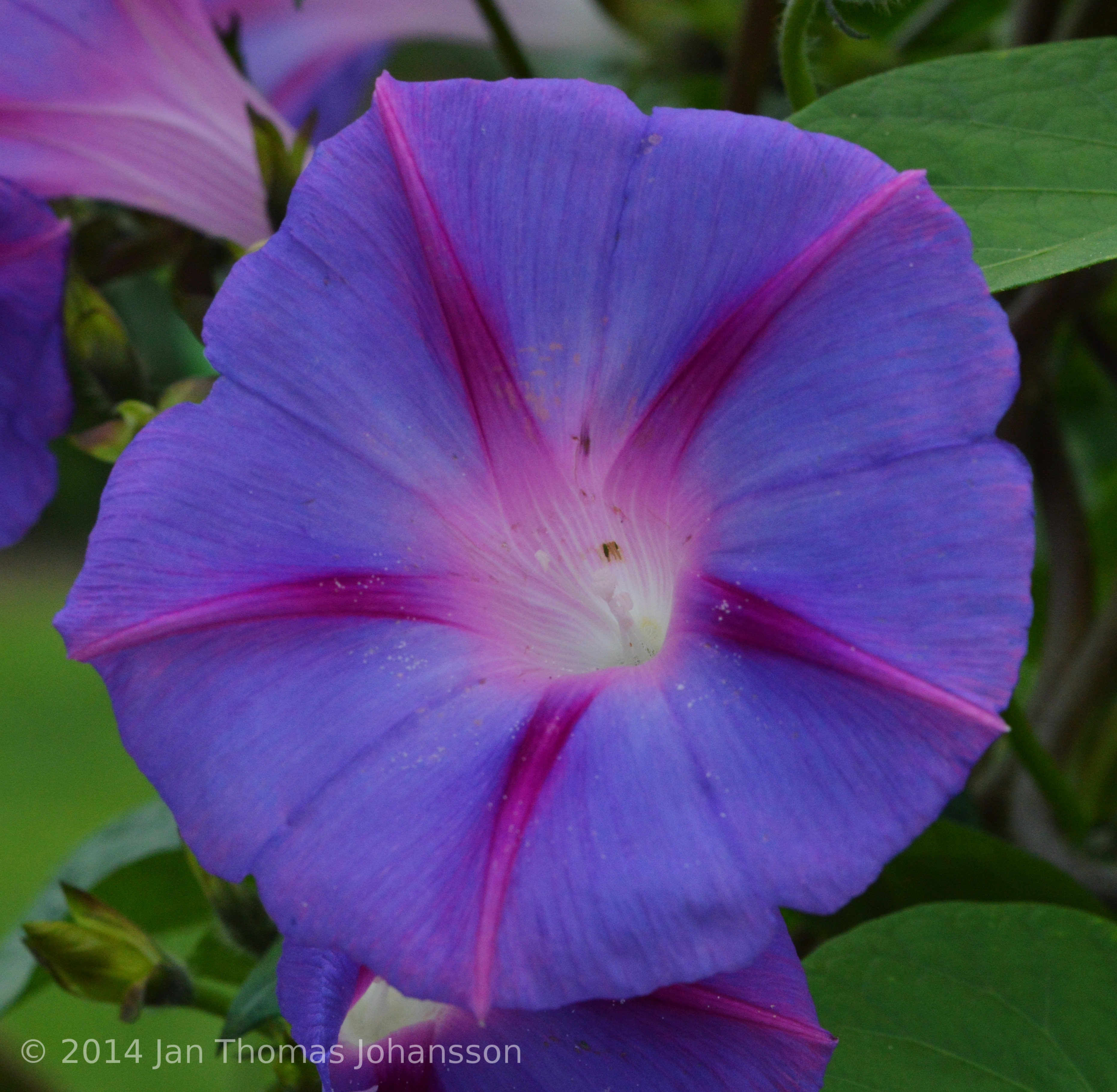 Thumbnails p for Ipomea purpurea