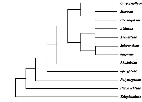 Caryophyllales Perleb Main Tree Synapomorphies