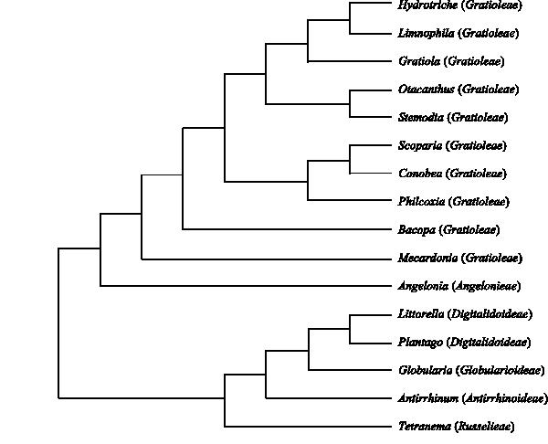 mazus reptans wasserpflanze